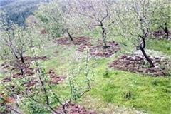 havoc-of-hailstorm-on-apple-peas-and-cauliflower-in-upper-shimla