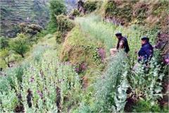 opium farming busted in aani banjar