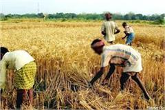 crop harvesting work will start in kangra district from this day