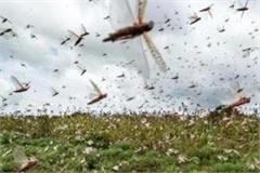 locust party likely to enter baghpat agriculture department issued alert