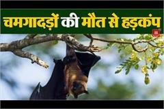 panic spread due to mysterious death of bats