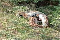 python swallows peacock stirred up among villagers