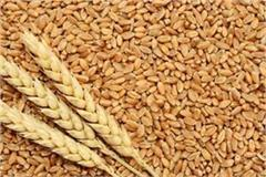 206 quintal wheat departs for sri harimandir sahib from kartarpur