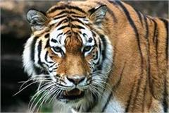 tiger came in front of motorcycle rider in panna