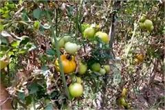 tomato crop gets disease
