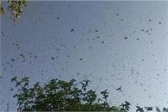 jhansi administration became alert due to locust outbreak