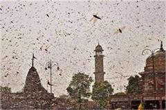 locust reached sonbhadra thousands of dead locusts due to drug spraying