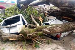 500 year old banyan tree fell by storm