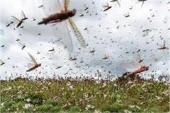 this is an effective way to get rid of locust attack