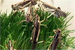 locust group from pakistan flocks farmers crops