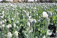 opium farming busted in aani and kumarsain