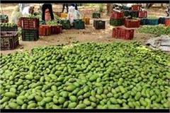 hurricanes havoc crop wastage for farmers heaps of raw mangoes