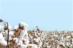 area of cotton cultivation likely to increase to 12 5 lakh acres