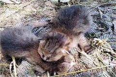 when people understand wild kittens as leopard cub