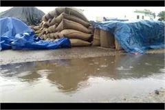 wheat kept in the open in the grain market soaked in rain