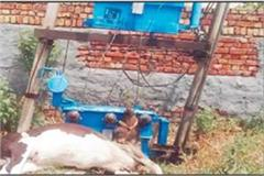 cow died due to power transformer