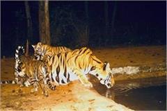 impact of lockdown in bandhavgarh tiger reserve park