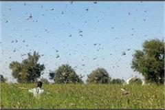 the threat of grasshopper remains in punjab