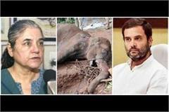 politics maneka gandhi angry on nephew rahul gandhi