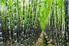 up sugarcane s sweetness reduced sugar production will decline