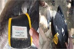 vulture villagers caught in gps and tagged in sitapur