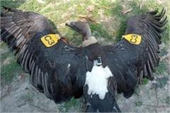gps and tagged sensation due to vulture they are being protected in nepal
