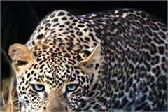 the leopard had picked up the child thus survived