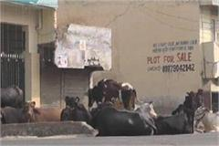 major action of municipal corporation in karnal 12 illegal dairies sealed