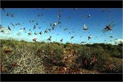 the threat of grasshopper attack in punjab high alert issued in 4 districts