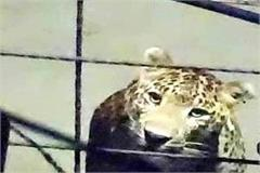 leopard was outside the house caught in cctv