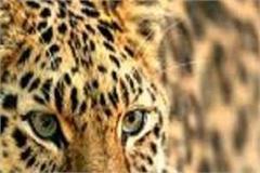 leopards spread panic among villagers in panchayat bada
