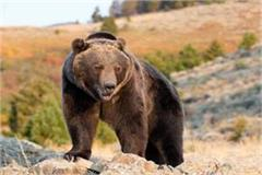 chamba person bear attack injured
