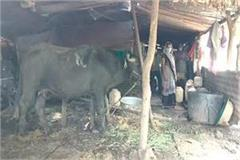 corona patient family members quarantine with cow buffalo