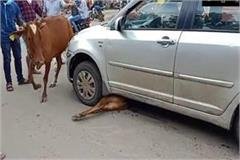 to save the calf cow mother kept circling the car