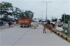 terror of stray animals on the streets administration and officials silent