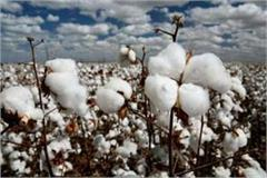 cci increased cotton prices