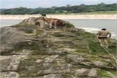 rescue a cow trapped in beas river for 3 days