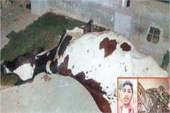 a speeding motorcycle collides with a destitute cow