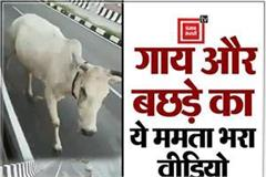viral video of mother love in shivpuri
