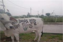congress candidate campaigning over cow