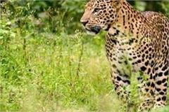 leopard panic in bareilly ten year old girl carried away in forest death