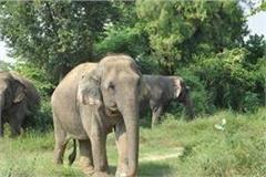 nepalese elephant herd from nepal border in up