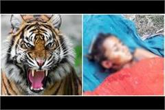 tiger took the girl by pressing it into the jaw body was found