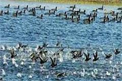 5 birds killed by poison harike bird sanctuary