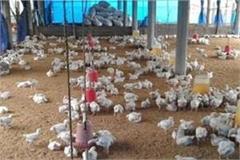 bird flu alert in punjab
