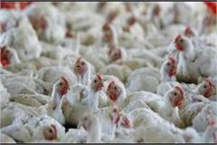bird flu know 99 5 of punjab s samples