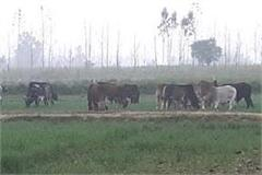 crops of farmers doing stray cattle