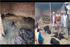 two dozen sheep die in suspicious conditions