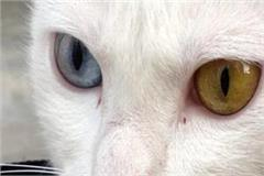 rare species cat found in mp one eye blue and other yellow