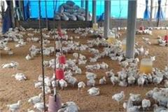 entry of bird flu in poultry in punjab